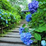6月が見頃! 鎌倉の「紫陽花」2大スポット&おすすめランチ10選の画像